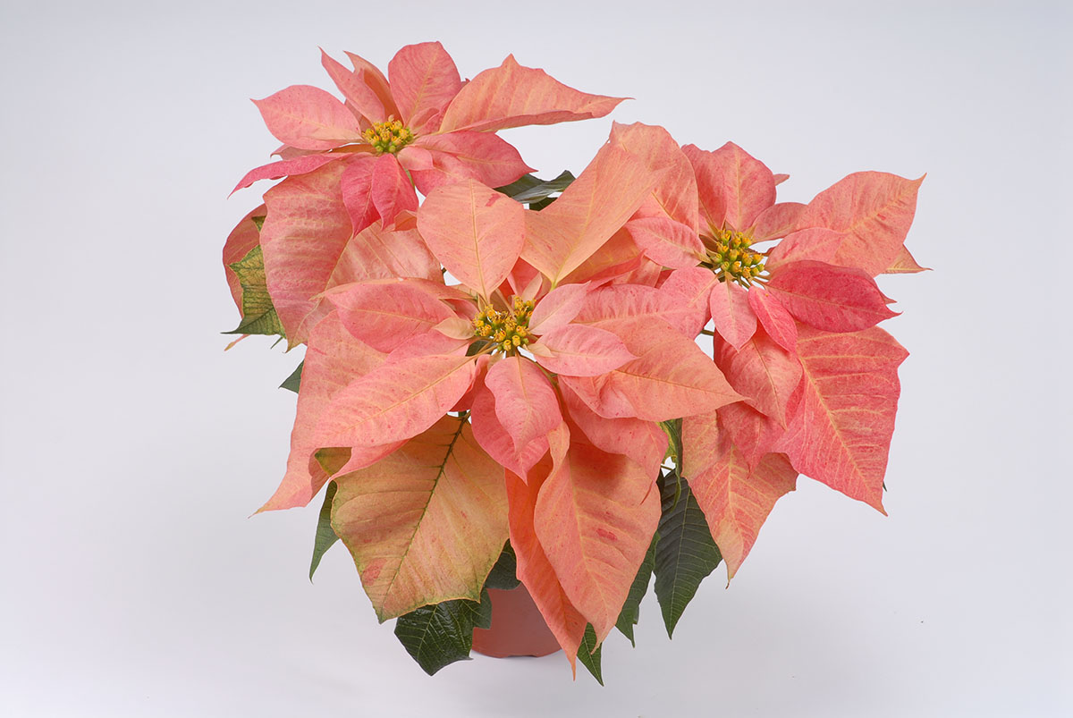 how to make a poinsettia bloom